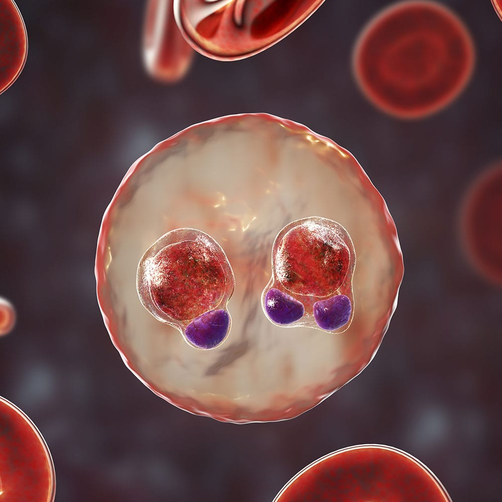 Plasmodium falciparum inside red blood cells