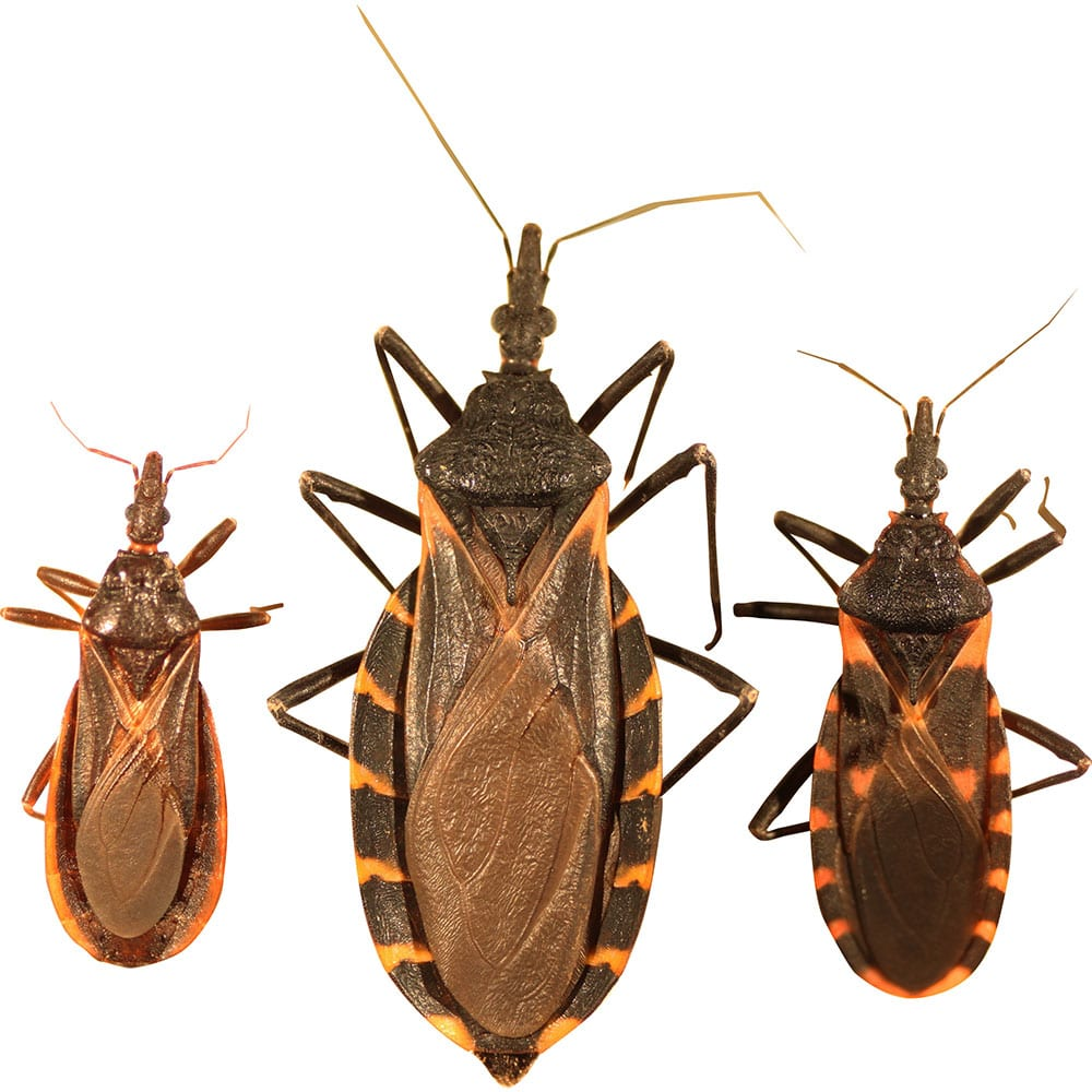 Kissing bugs