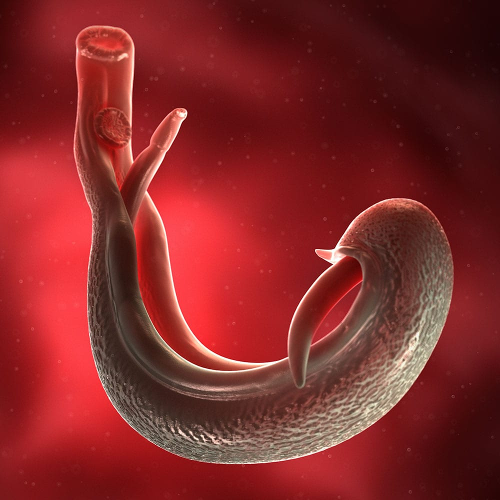 3d rendered medically accurate illustration of a schistosoma